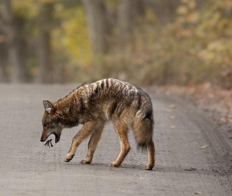 Coughing Coyote
