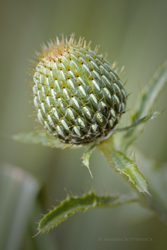 Baby Thistle