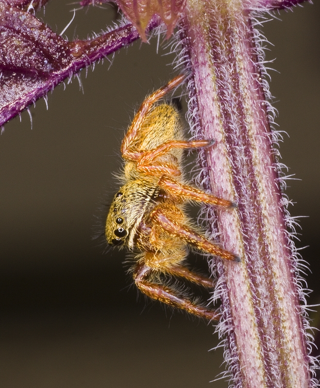 Orange Jumping Spider On Thai Basil