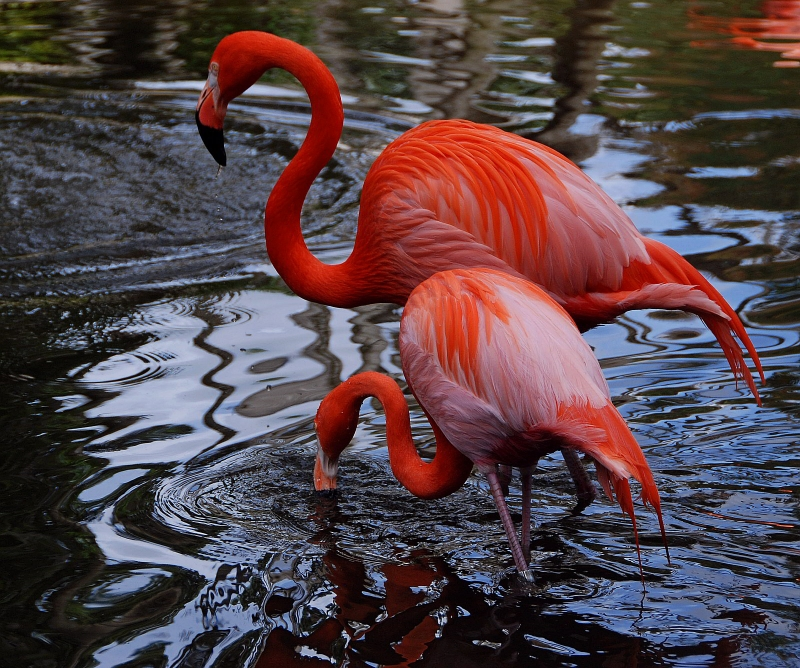Flamingos In The Pond