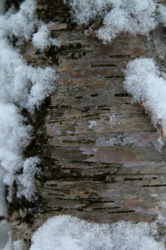 Snowy Birch Bark