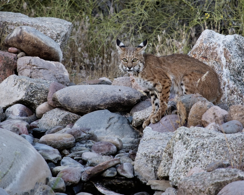 Young Bobcat At Water Hole In The Desert