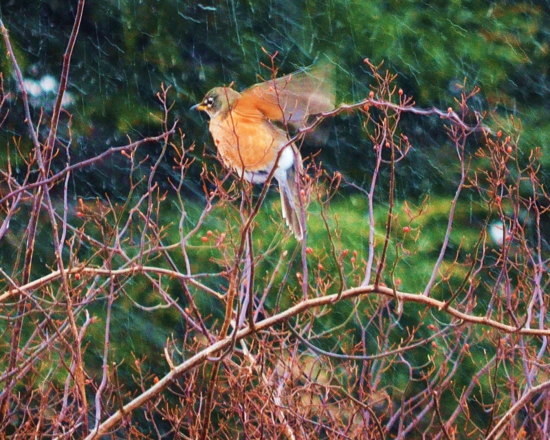Confused Robin – Spring Or Winter?