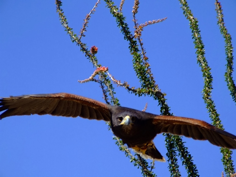 Hunting Harris Hawk