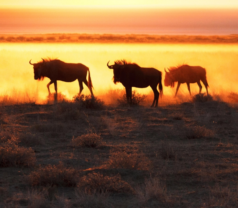 Wildebeast At Sunrise