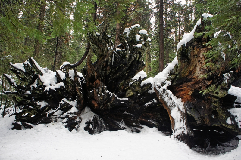 Old Sequoia Roots