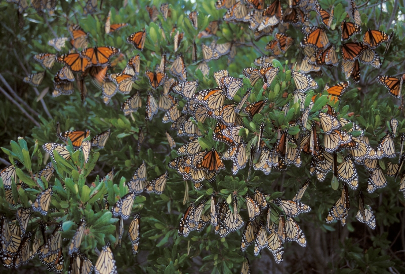 Monarchs Roosting On Their Migration To Mexico