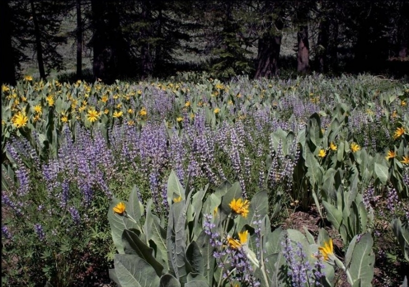 Field Of Lupine And Mule Ears