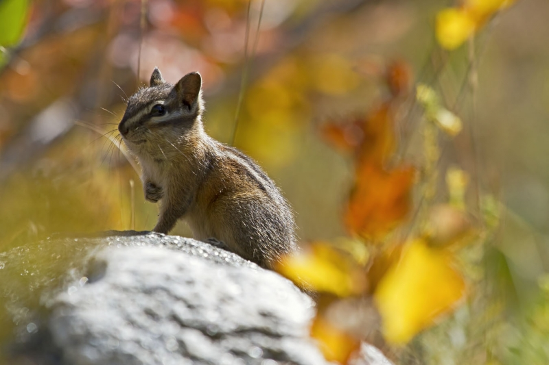 Fall Chipmunk