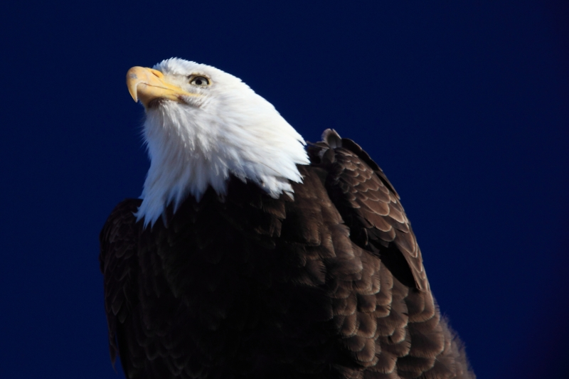 Magestic Bald Eagle
