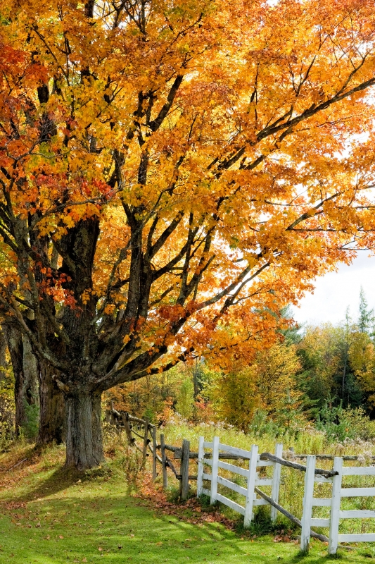 Sugar Maples And Fence