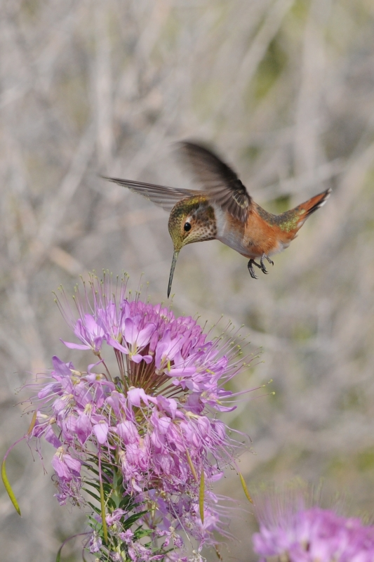 Hummingbird On Beeplant