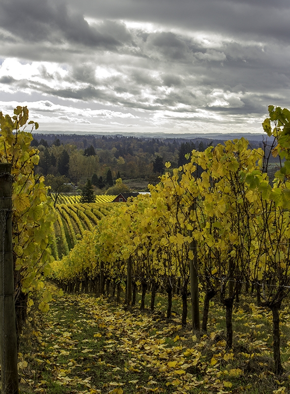 Oregon Vineyard In Autumn