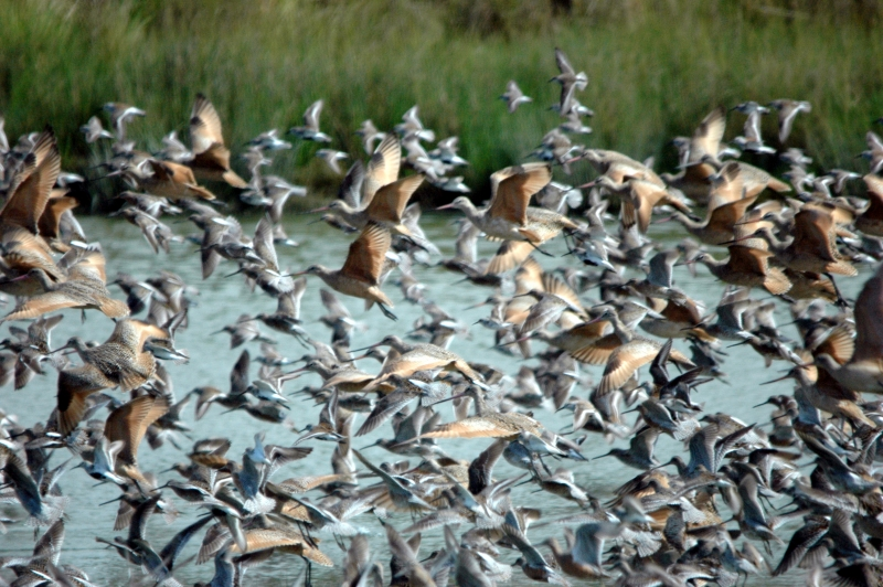 Flight Of The Godwit