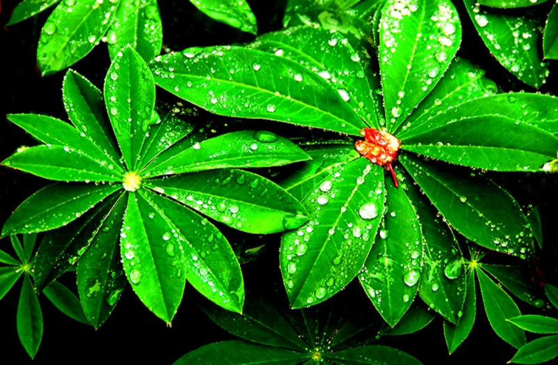 Rhododendron With Water Drops