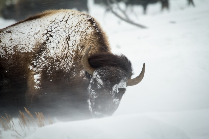 Buffalo In The Wind Driven Snow