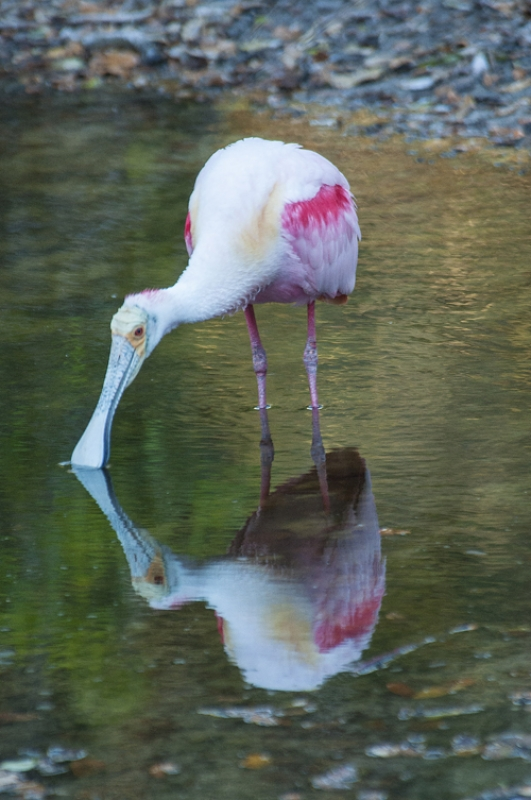 Reflecting Spoonbill