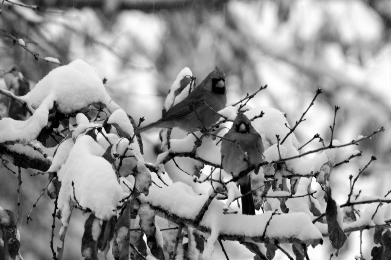 Cardinals In Snowy Trees