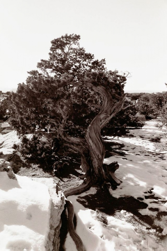 Conifer – Islands In The Sky, Canyonlands