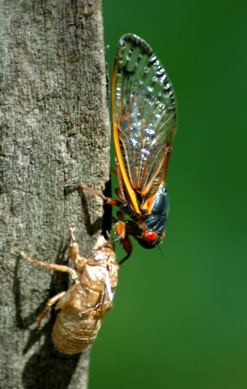 Periodical Cicada And Shell