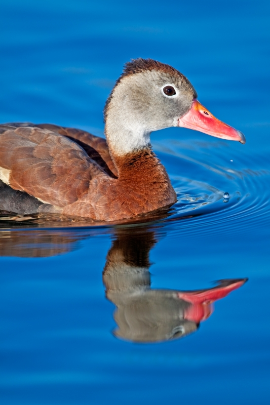 Black‐bellied Whistling‐duck