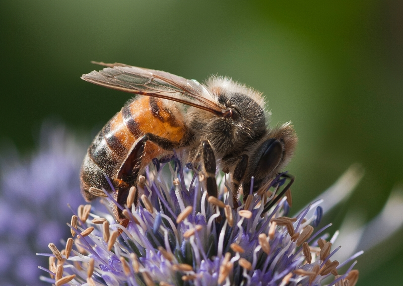 Bee On A Artichoke Flower