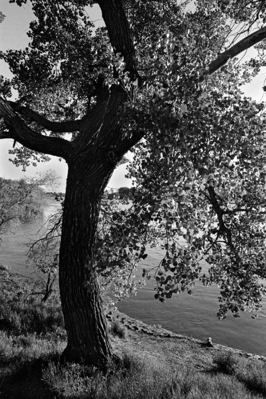 Tree On The Yellowstone River