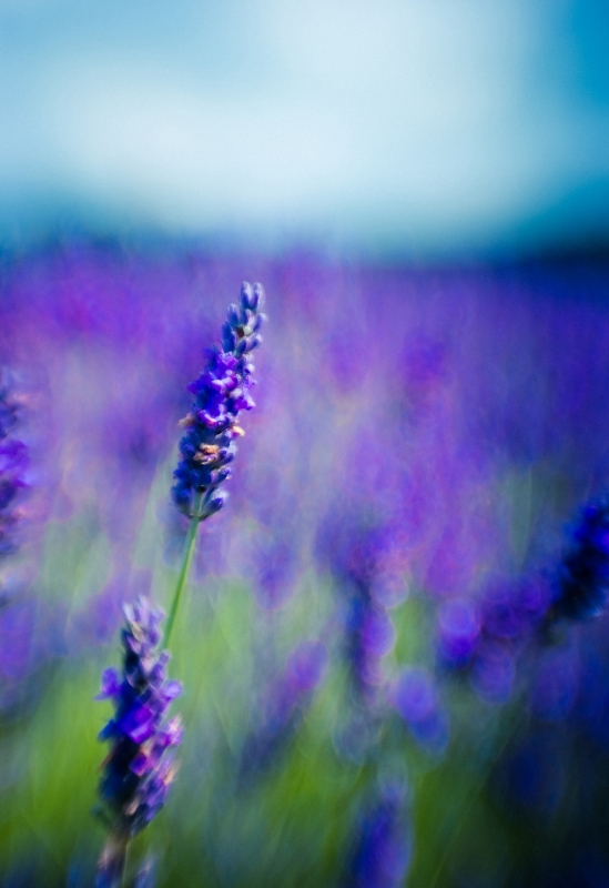 Horizon Of Lavender
