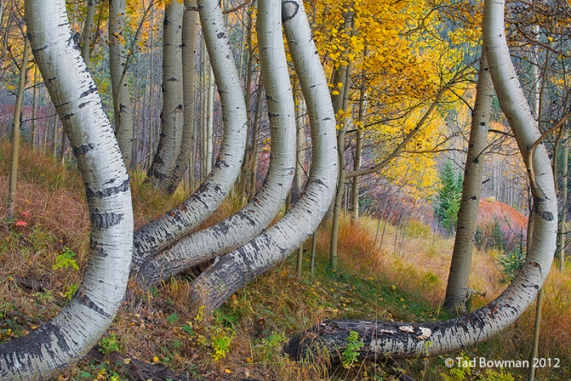Twisted Aspens