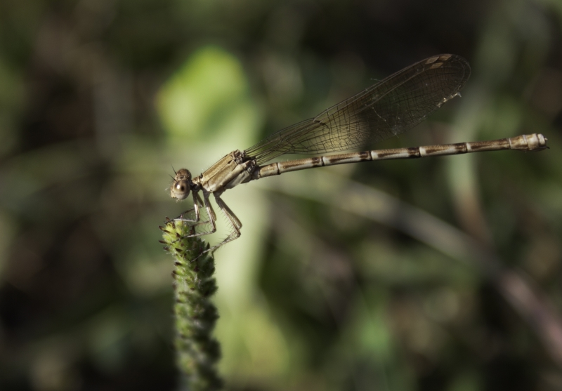 Dragonfly Balance Act