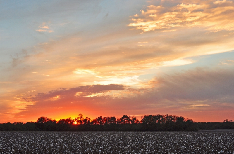 Sunset Over Cotton