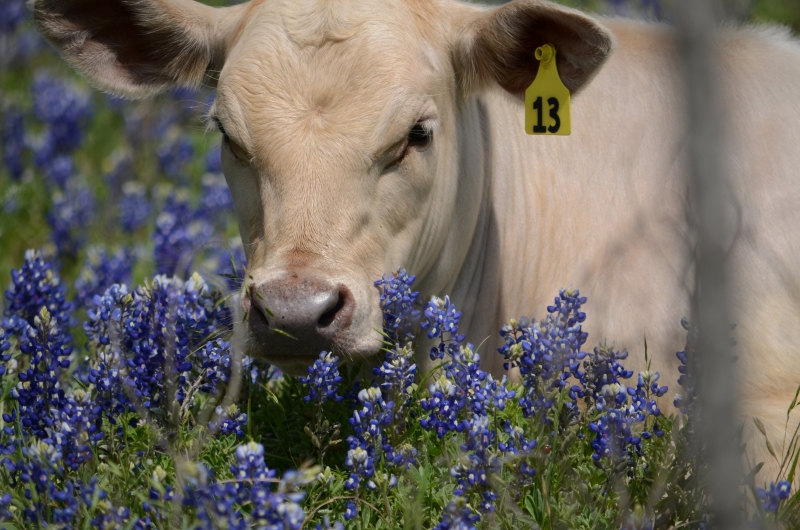 Cow In A Field Of Bluebonnets