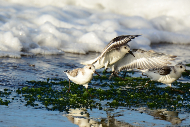 Sanderlings Flight