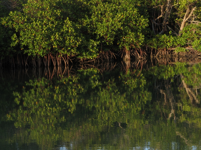 Reflection Of Mangroves