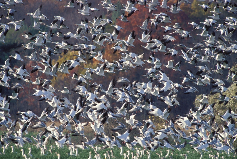 Snow Geese Landing At The Dead Creek Migration Stopover