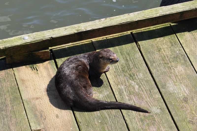 Otter At The Local Pier