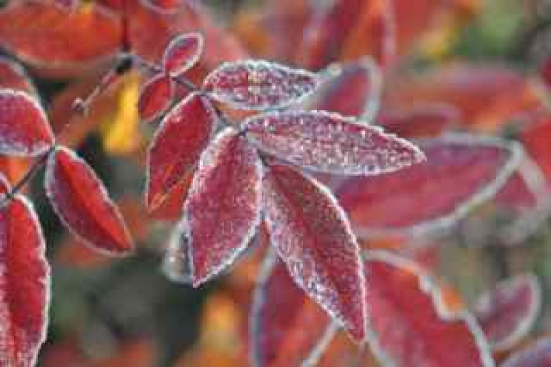 First Frost On Autumn Leaves
