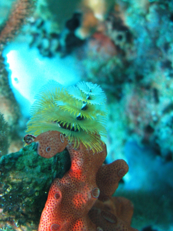 X-mas Tree Worm Over The Wall In Cane Bay