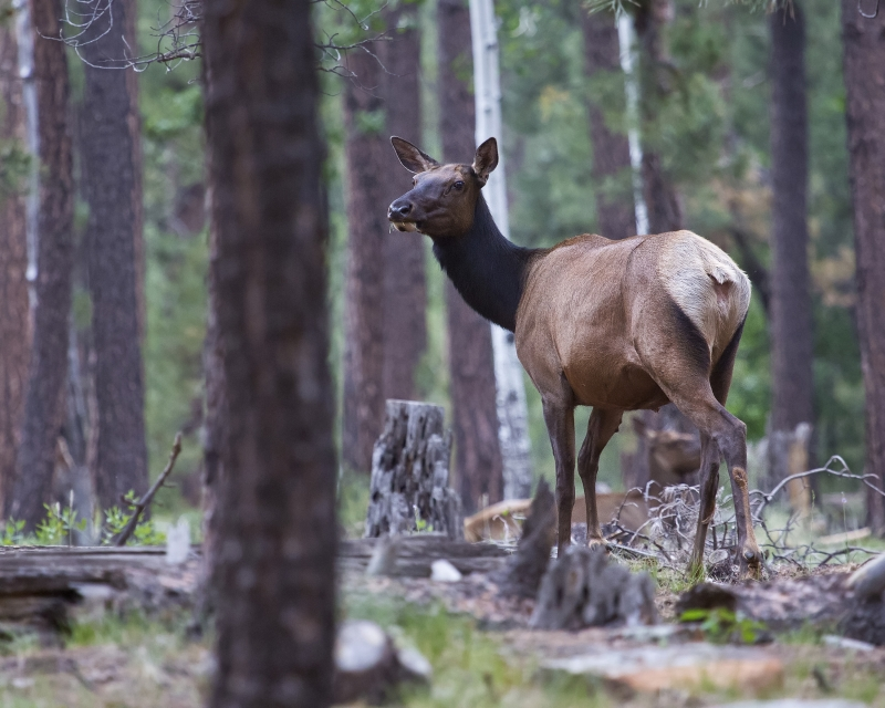 Female Elk In The Apache Sitgraves National Forest