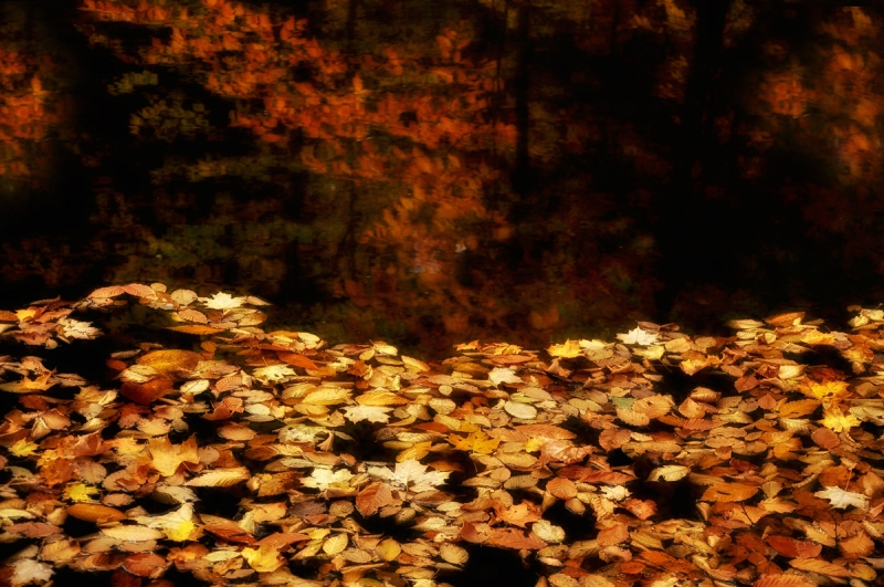 Fallen Leaves In Pond