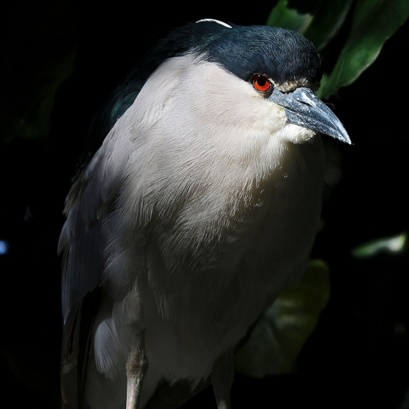 Black-crowned Night Heron In A Tree