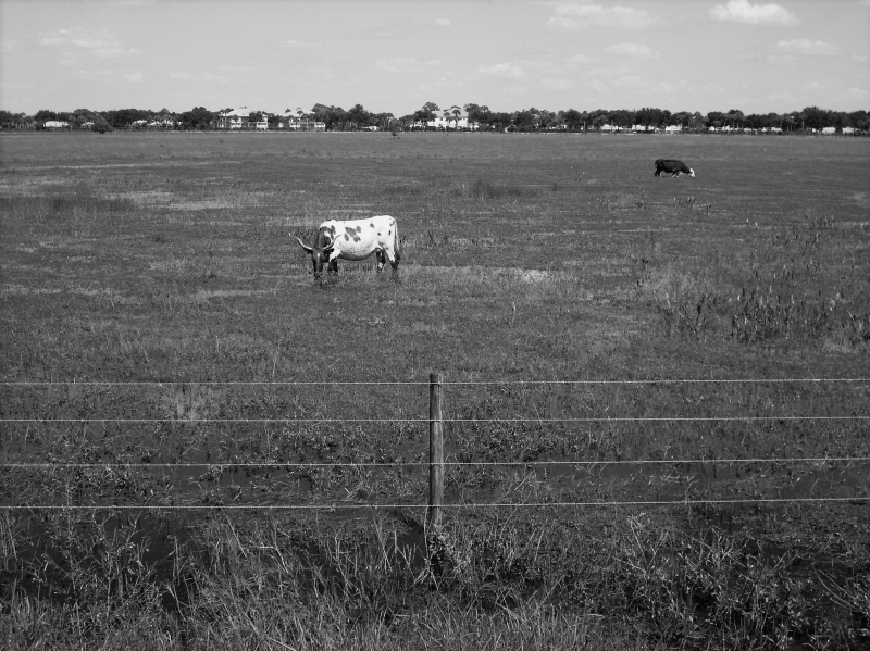 Cowfield In Black And White