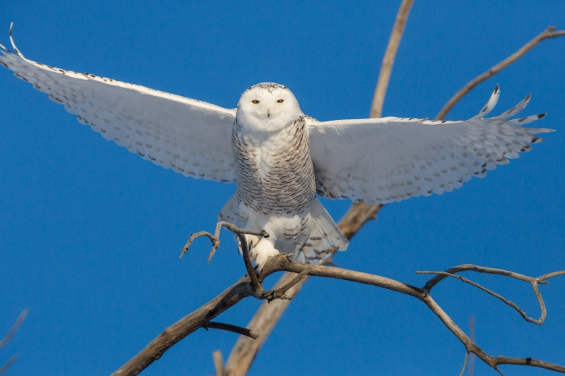 Snowy Owl Ready For Take Off