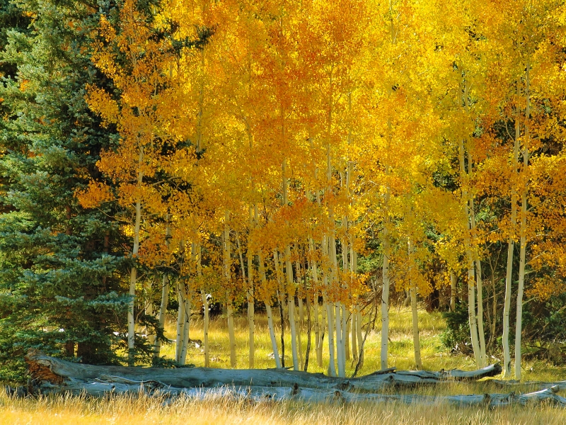 Stand Of Aspen In Full Fall Color (1)