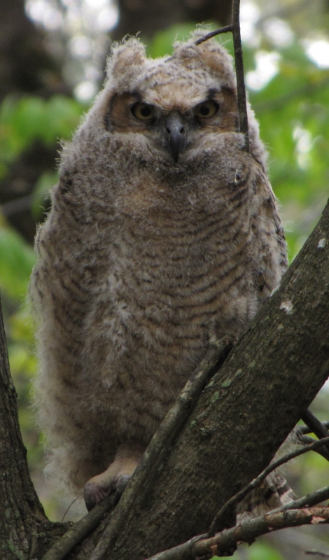 Great-horned Owl Fledgling