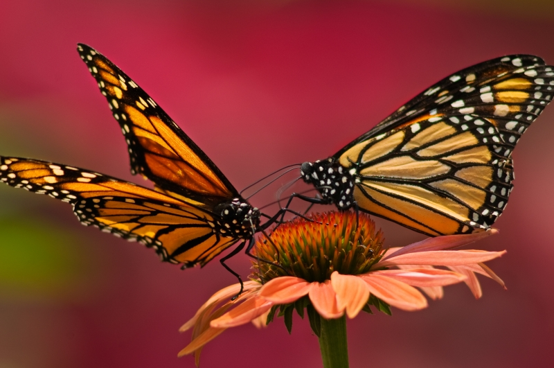 Monarch Butterflies On Coneflower