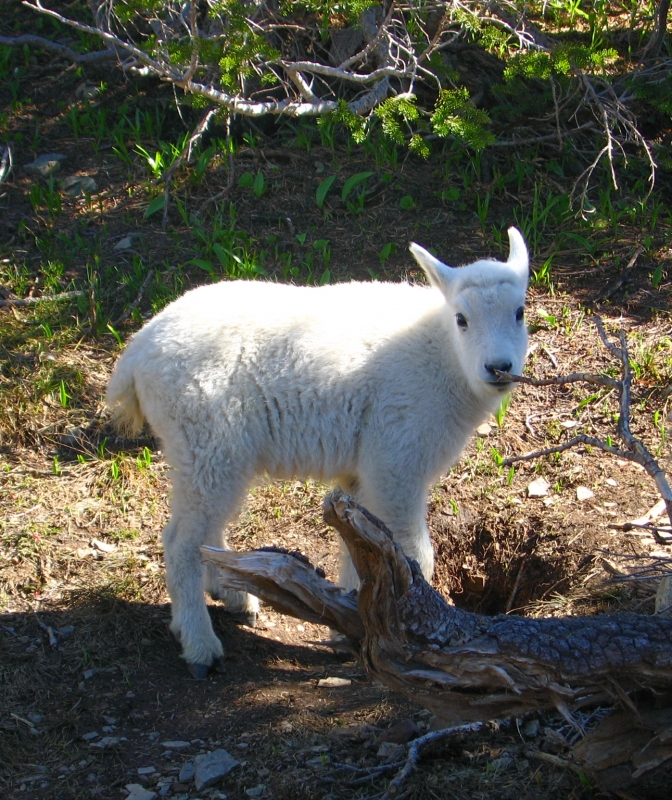 Mountain Goat Baby