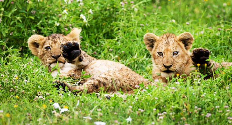 Waving Lion Cubs