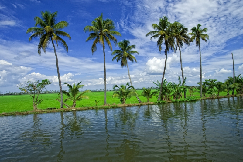 Coconut Trees At Allepey Backwaters. Kerala