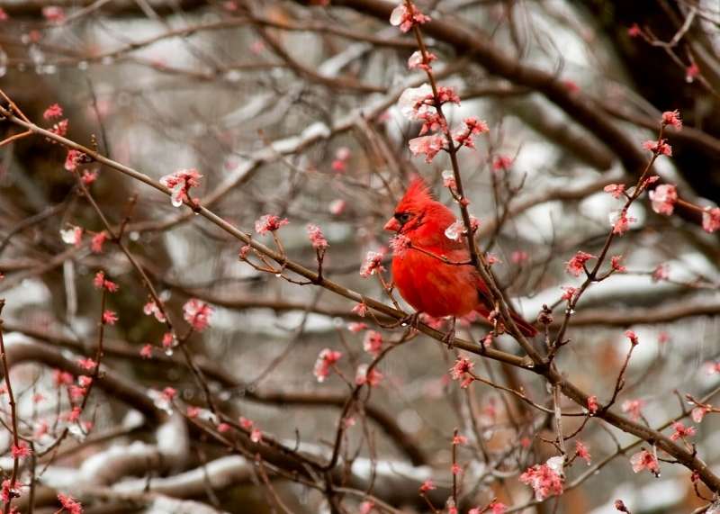 Cardinal In Spring Ice Storm